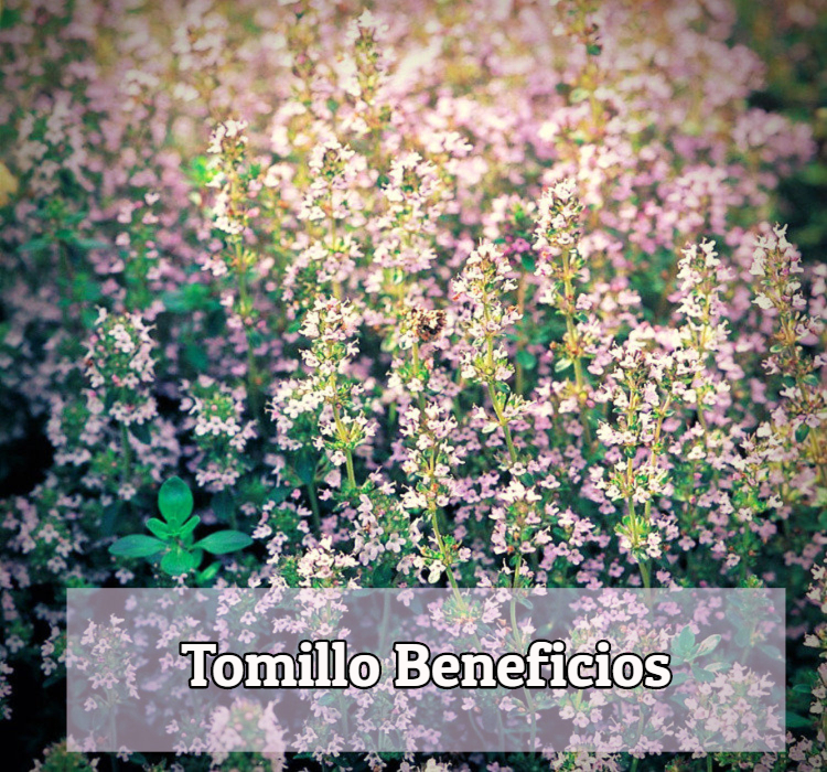 Tomillo beneficios